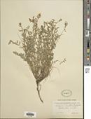 view Astragalus miser var. hylophilus (Rydb.) Barneby digital asset number 1