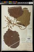 view Alchornea sidifolia Müll. Arg. digital asset number 1