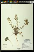 view Chylismia claviformis subsp. integrior (P.H. Raven) W.L. Wagner & Hoch digital asset number 1