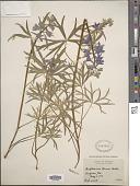 view Delphinium tricorne Michx. digital asset number 1