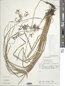 view Fimbristylis aphylla Steud. digital asset number 1