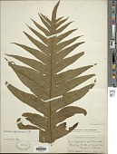 view Polypodium polynesicum C. Chr. digital asset number 1