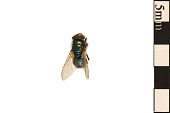 view Common Green Bottle Fly digital asset number 1