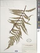 view Parathelypteris japonica (Baker) Ching digital asset number 1