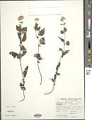view Ageratina gilbertii (B.L. Rob.) R.M. King & H. Rob. digital asset number 1
