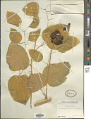view Smilax herbacea L. digital asset number 1