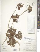 view Ipomoea macrantha Roem. & Schult. digital asset number 1