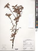 view Melochia arenosa Benth. digital asset number 1