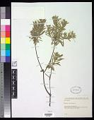 view Daphne gnidium L. digital asset number 1