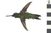 view Ruby-throated Hummingbird digital asset number 1