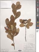 view Photinia villosa (DC.) Thunb. digital asset number 1