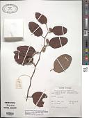 view Ziziphus xylopyrus (Retz.) Willd. digital asset number 1
