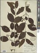 view Viburnum tomentosum digital asset number 1