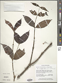 view Medinilla crassifolia Blume digital asset number 1
