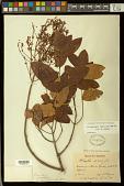 view Heteropterys grandiflora A. Juss. digital asset number 1