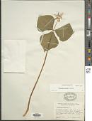 view Trillium cernuum L. digital asset number 1
