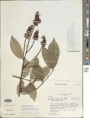 view Diplotropis martiusii Benth. digital asset number 1