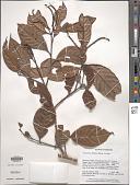 view Lithocarpus bullatus Hatus. ex Soepadmo digital asset number 1