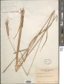 view Trachypogon spicatus (L. f.) Kuntze digital asset number 1