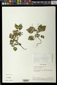 view Streptocarpus thompsonii Aiton digital asset number 1