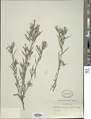 view Lithospermum incisum Lehm. digital asset number 1