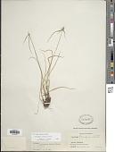 view Cyperus sesquiflorus (Torr.) Mattf. & Kük. subsp. sesquiflorus digital asset number 1
