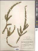 view Muraltia pungens Schltr. digital asset number 1