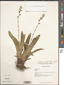 view Catopsis sessiliflora (Ruiz & Pav.) Mez digital asset number 1