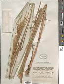 view Rottboellia rottboellioides (Aiton) Druce digital asset number 1