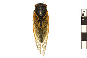 view Seventeen-year Cicada, Periodical Cicada digital asset number 1