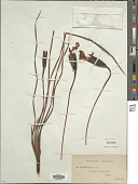 view Patersonia sericea R. Br. digital asset number 1