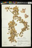 view Megistostegium nodulosum (Drake) Hochr. digital asset number 1