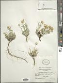 view Machaeranthera grindelioides (Nutt.) Shinners digital asset number 1