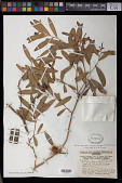view Asteromyrtus symphyocarpa (F. Muell.) Craven digital asset number 1