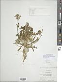 view Eremothera boothii subsp. condensata (Munz) W.L. Wagner & Hoch digital asset number 1