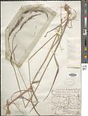 view Elymus sierrae Gould digital asset number 1