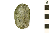 view Strophomenid Brachiopod digital asset number 1