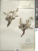 view Eriogonum flavum Nutt. digital asset number 1