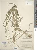 view Rhynchospora polyphylla (Vahl) Vahl digital asset number 1