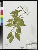 view Baphia capparidifolia Baker digital asset number 1