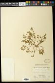 view Euphorbia serpillifolia Pers. digital asset number 1