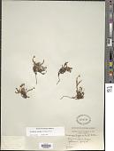view Harrimanella hypnoides (L.) Coville digital asset number 1