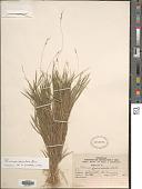 view Dichanthelium aciculare (Desv. ex Poir.) Gould & C.A. Clark digital asset number 1