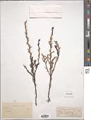view Striga euphrasioides Benth. digital asset number 1