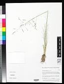 view Puccinellia distans (Jacq.) Parl. digital asset number 1