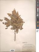 view Quercus undulata Torr. digital asset number 1