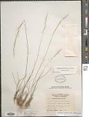 view Eriocoma occidentalis subsp. californica ined. digital asset number 1