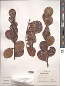 view Chrysobalanus icaco L. digital asset number 1