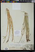 view Carex bolanderi Olney digital asset number 1