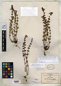 view Scutellaria hispidula B.L. Rob. digital asset number 1